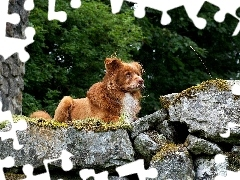 dog, Stones, ginger