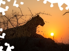Leopards, Rocks, Bush, sun