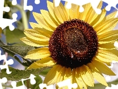 an, sunflower, bee