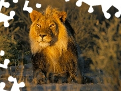 Lion, Great Sunsets