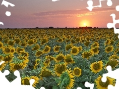 sunflowers, Teksas, Field