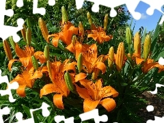 flowerbed, Flowers, tiger Lilies