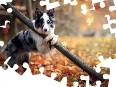 autumn, trees, Leaf, dog, viewes, Border Collie, fence
