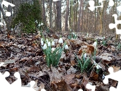 trees, forest, snowdrops, viewes, Leaf