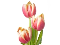 Pink, Tulips, Three