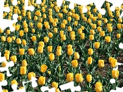 yellow, tulips, plantation