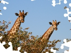 giraffe, VEGETATION, Two