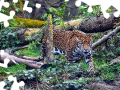 Jaguar, trees, viewes, fallen