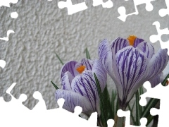 crocus, wall