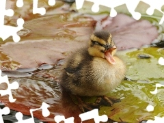 Ducky, water, small