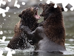 water, bears, rivalry