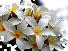 White, drops, water, Plumeria