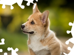 muzzle, dog, Welsh corgi pembroke