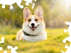 dog-collar, dog, Welsh corgi pembroke
