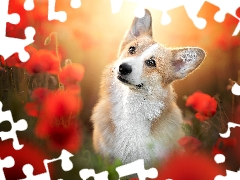 dog, Flowers, papavers, Welsh corgi pembroke