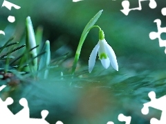 White, Colourfull Flowers, Snowdrop