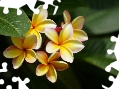 Plumeria, Flowers, Yellow Honda