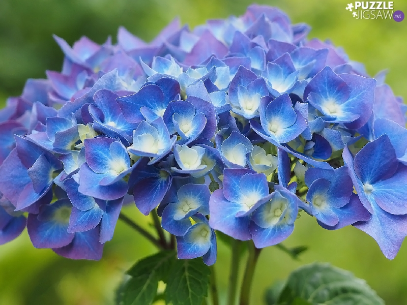 Colourfull Flowers, hydrangea, Leaf, blue