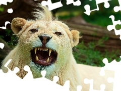 White, bangs, canines, Lion