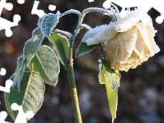 rose, Frozen, Colourfull Flowers