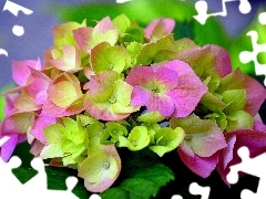 Coloured, hydrangea