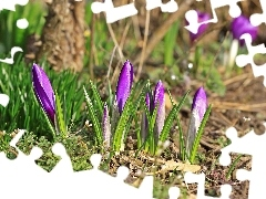 crocuses, grass, land, purple