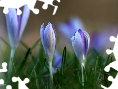 lilac, Flowers, Spring, crocuses