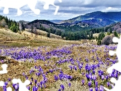 Meadow, Mountains, woods, crocuses